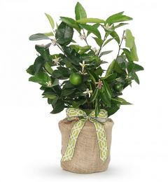 Persian Lime Tree  Sympathy Gift